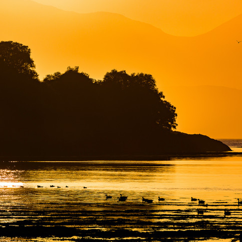 (674) Canada Geese at Sunset, Loch Feoch