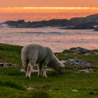 (1393) Lamb at Sunset, Sanna Bay Beach,