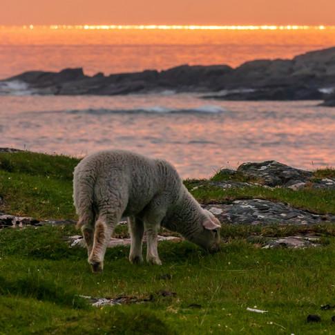 (1393) Lamb at Sunset, Sanna Bay Beach,
