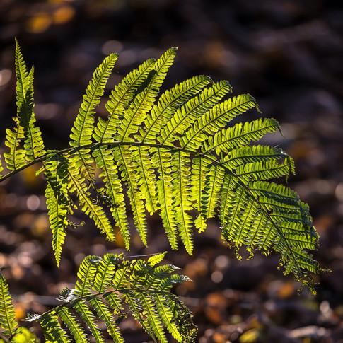 (876) Ferns in Winter Sunlight, Almondel
