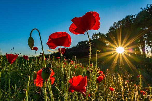 (1428) Red Poppy Love, Sun Starburst, Ratho, West Edinburgh. Copyright David Wheater.jpg