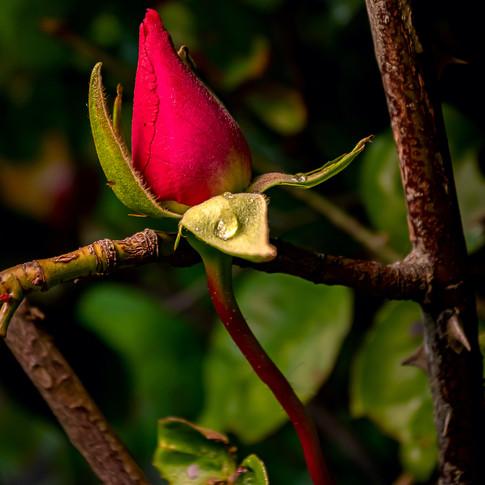 (1381) Red Rose Bud, Ratho, West Edinbur