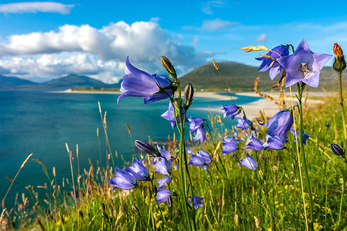 Isle of Harris - Harebells at Seilebost to Luskentyre Beach by David Wheater