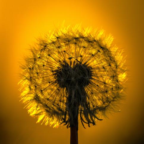(1098) Dandelion Seed Head Backlit by th