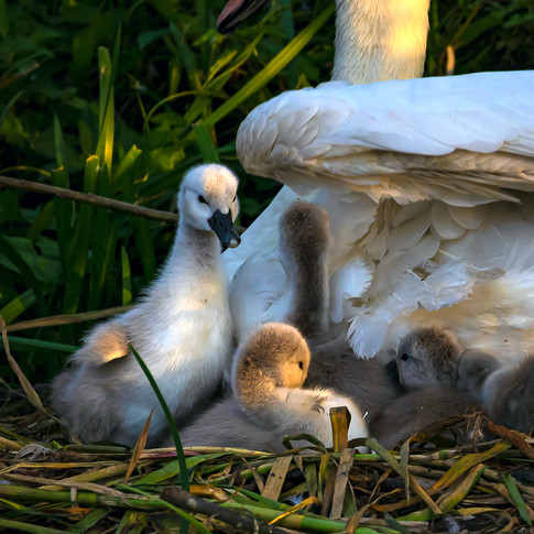 (1470) Cygnets and Mother Swan, The Unio