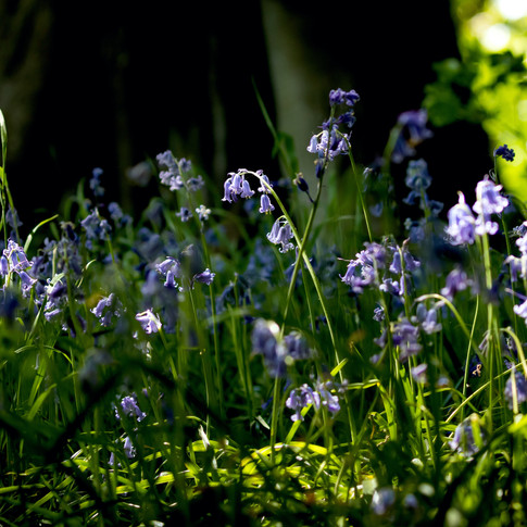 (1105) Bluebells in Woodland, Balerno, E