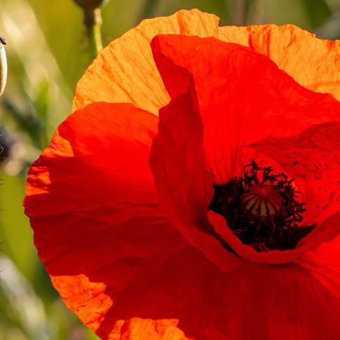 (1154) Red Poppy, Newbridge, West Edinbu