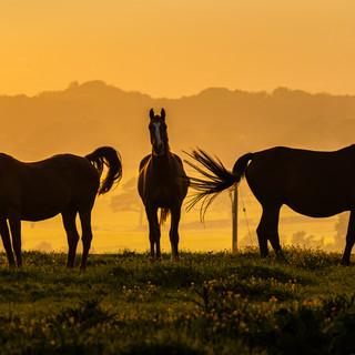 Golden Hour Horses