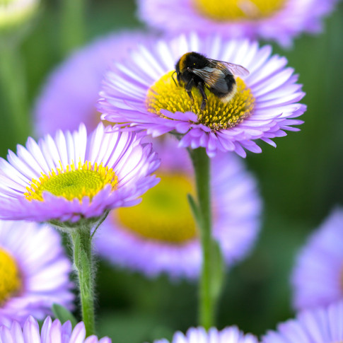 (644) Bee on Seaside Daisy, Erigeron gla