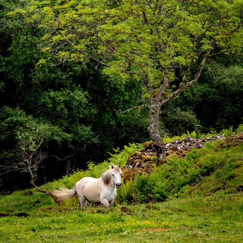 (1134) White Horse, Lochaline, Morvern,