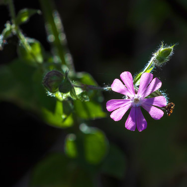 (1339) Purple_Pink Flower, The Union Can