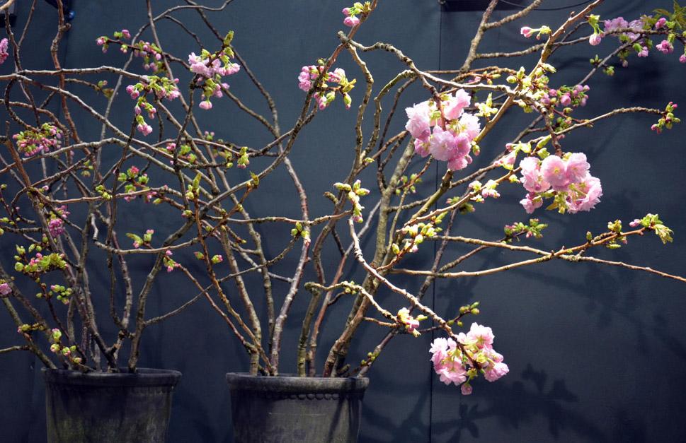 kirsikanoksat