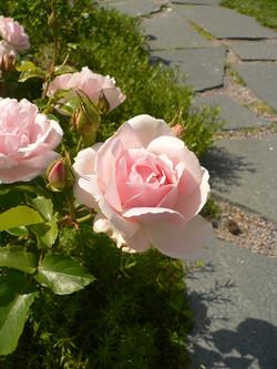 Ballade-ruusu ´Kotiliesi´