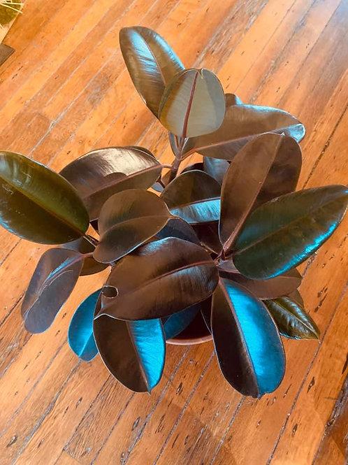 """6"""" Rubber Plant (Ficus Elastica)"""