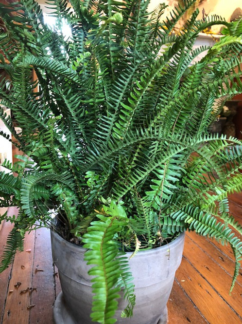 Kimberly Queen Fern (large)