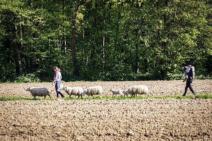 moutons_champ_forêt_enfants_.jpg