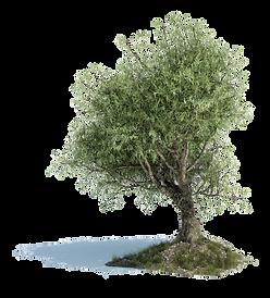 206-2060788_old-olive-tree-png-leaf-of-o