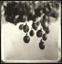 Persimmons drying #01