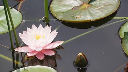 lotus-flower-1447499_1920.jpg