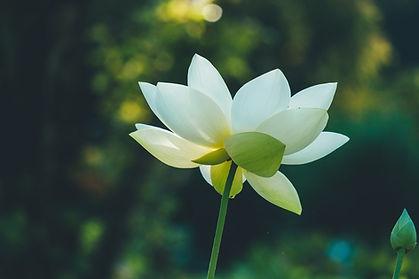 lotus-flower-4719951_1920.jpg