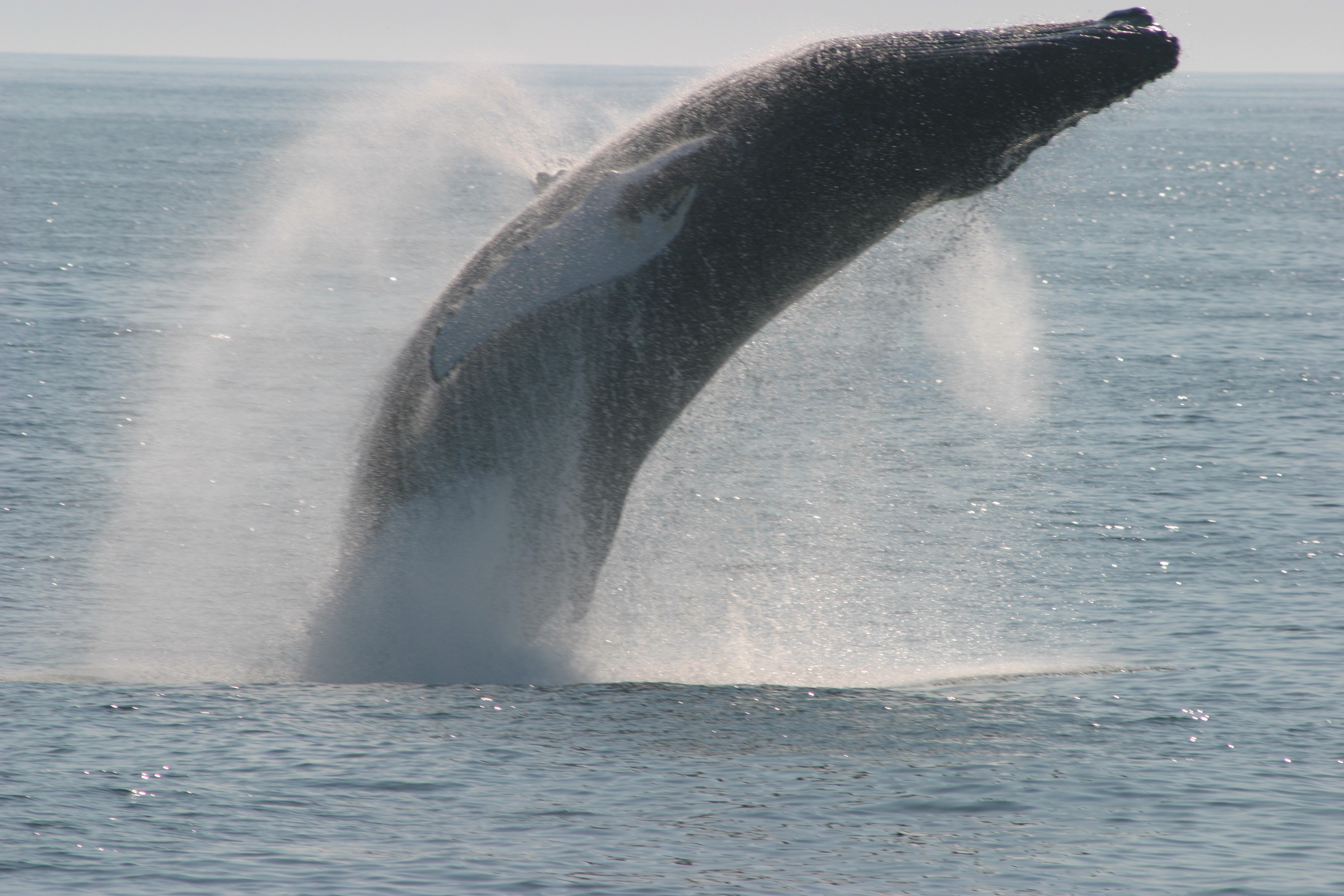 Breaching Humpback Whale named Veteran