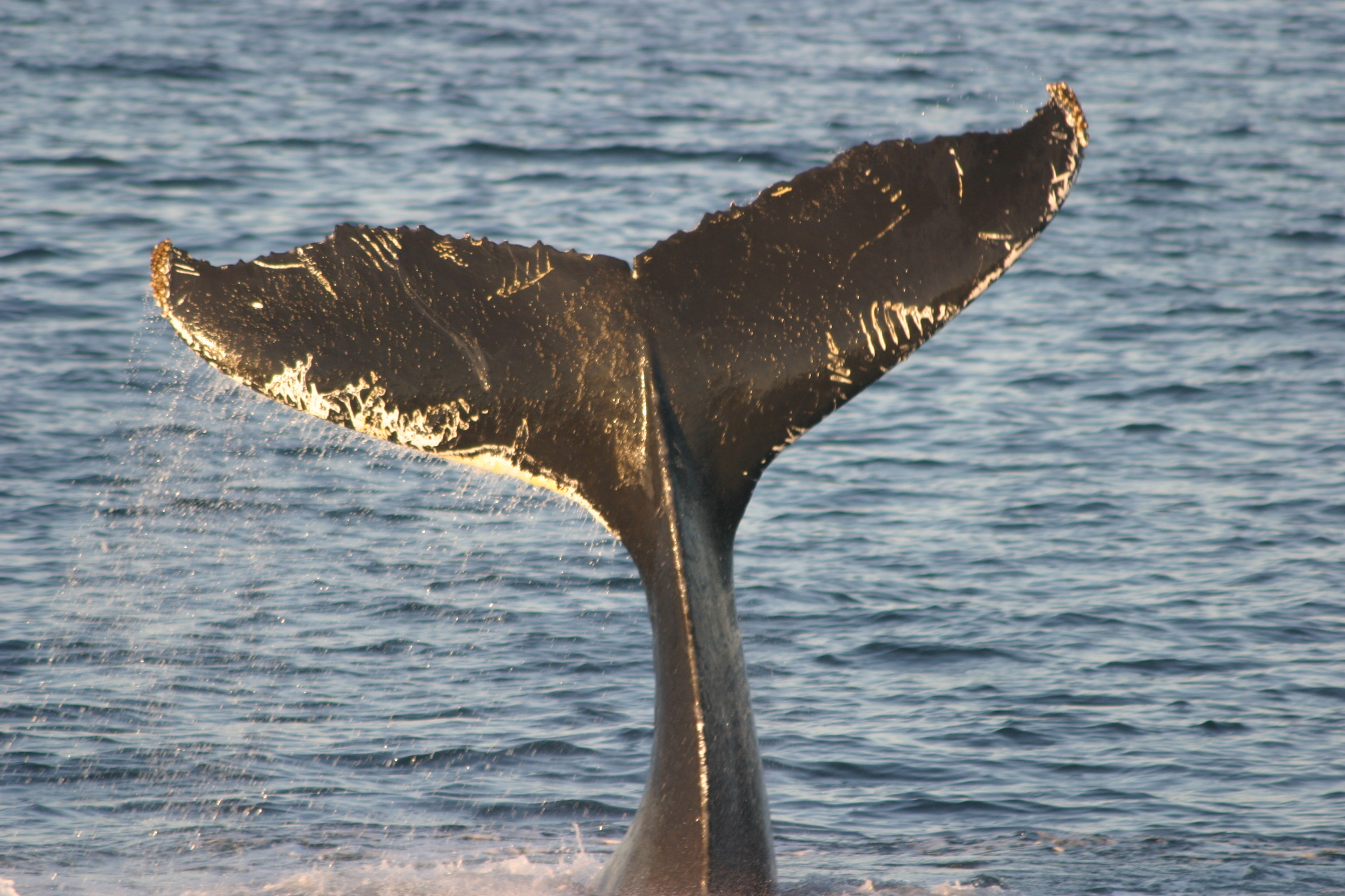 Humpback whale named Triton