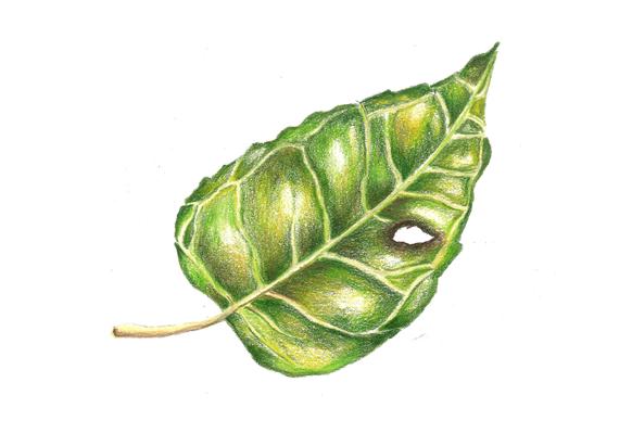 Leaf- pencils
