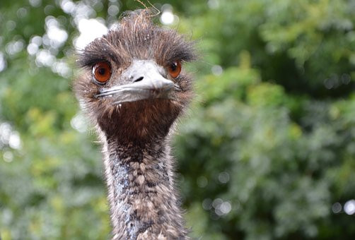 This emus cannot go backwards ... read more:}