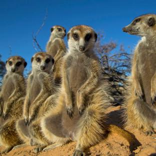 Serious Meerkats