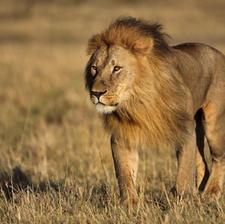 Lion with huge mane