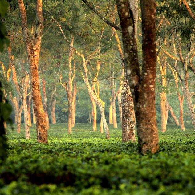 Tea Forest