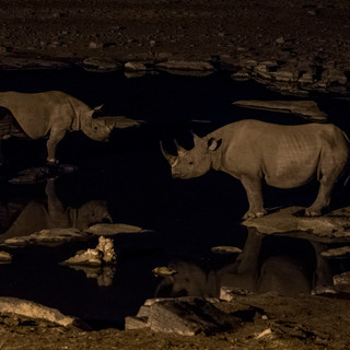 Night Time Rhinos