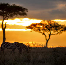 Zebras at Sunset