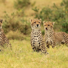 Cheetah Brotherhood