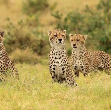 Cheetah Brotherhood