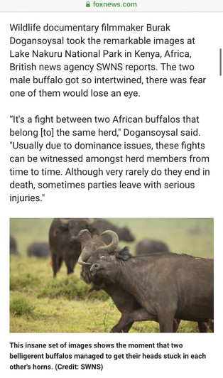 Fox News - Buffalos