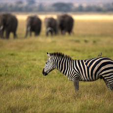 Zebra and Elephants