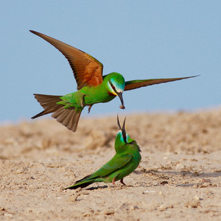 Little Beeeaters