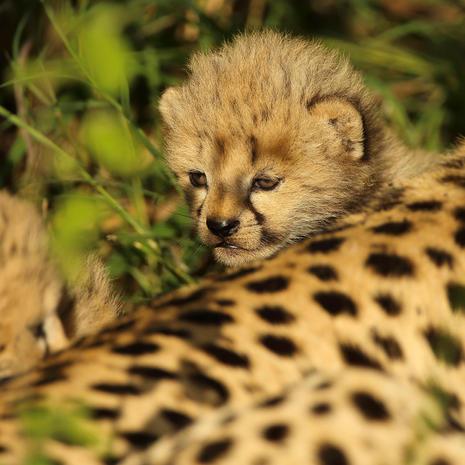 Cheetah Baby