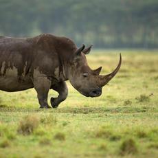 Rhino on the Walk