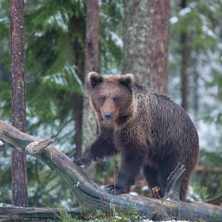 Bear on a Branch