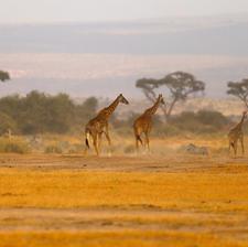 Giraffes on the Walk