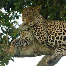 Leopard on a Tree
