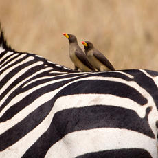 Oxpeckers on a Zebra
