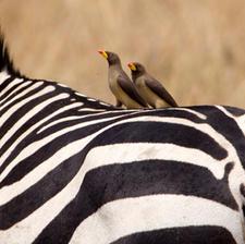 Oxpeckers on a Zebra