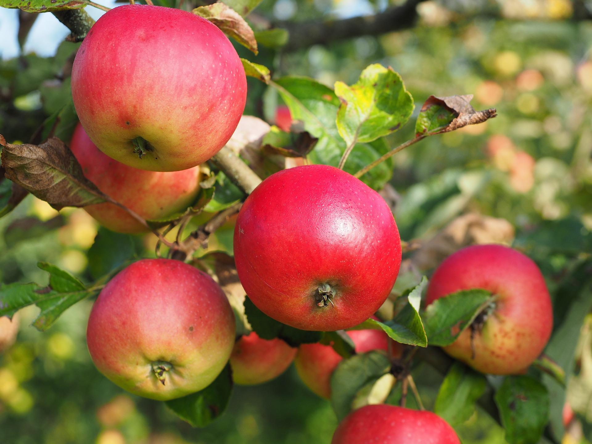 apple-693986_1920