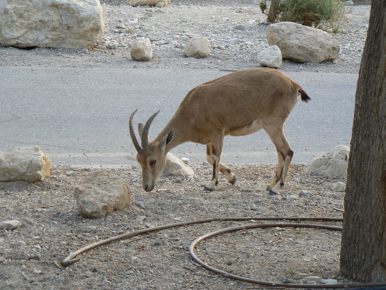 Negev Gazelle