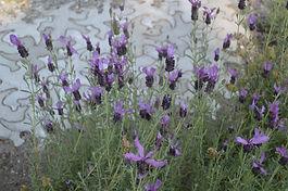FranMo_Lavender.JPG