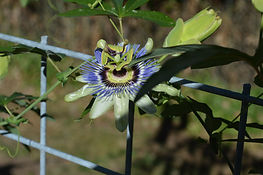 Passion-Fruit-Flower-FranMo.JPG