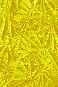 marijuana-cannabis-leaves-MK8HAGD_edited